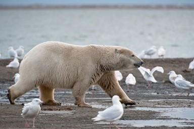 새 알로 허기달래는 북극곰