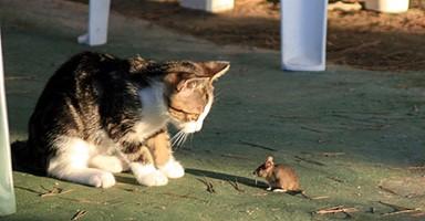 고양이 오줌은 쥐의 행동을 제어한다