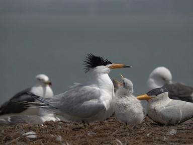 멸종위기 '뿔제비갈매기', 국내서 3년째 번식 성공