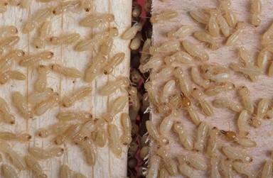 수컷 없이 암컷만으로 이뤄진 흰개미 군집이 있다
