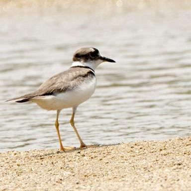 영주댐으로 물길 막힌 내성천 멸종위기 흰목물떼새ㆍ흰수마자 수난