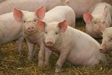 돼지해(年), 행복한 돼지가 더 많아지길