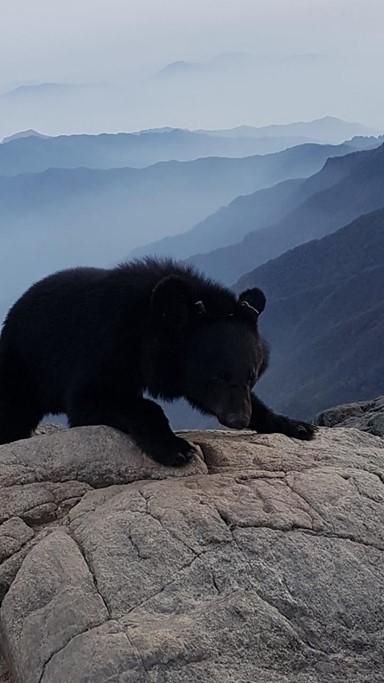 지리산 반달곰, 셋 중 두마리는 죽거나 철창행