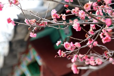 전국 곳곳 찾아온 '봄의 전령'