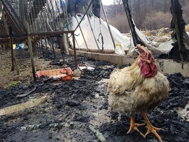 살아남은 닭의 표정