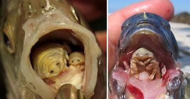 물고기의 입 안에서 '혓바닥'인 척 하는 기생충이 있다