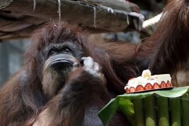 50살 생일 맞은 오랑우탄