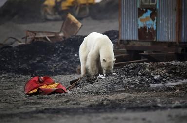 쓰레기 더미 헤매는 북극곰