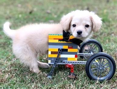 두 발 강아지 그레이시, 내 앞다리는 '레고'