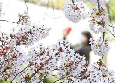 벚꽃 사진으로 감상하세요